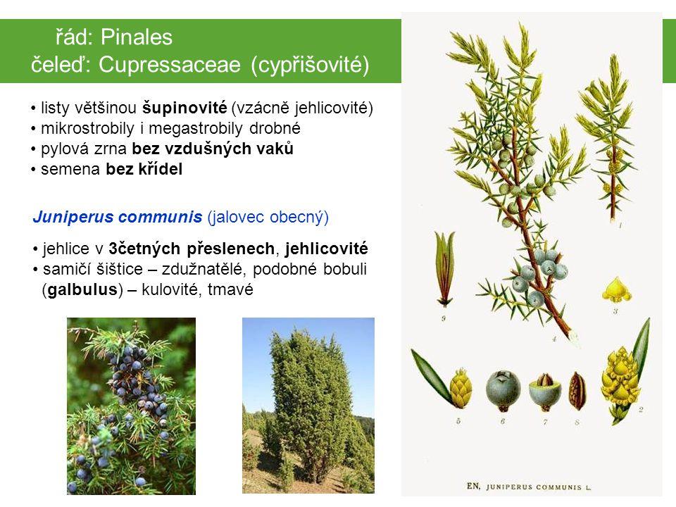 čeleď: Cupressaceae (cypřišovité)