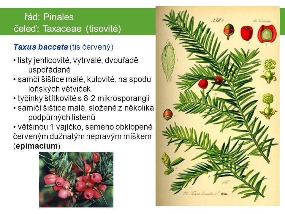 čeleď: Taxaceae (tisovité)