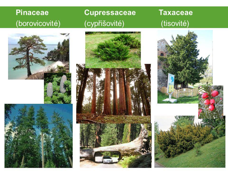 Pinaceae Cupressaceae Taxaceae