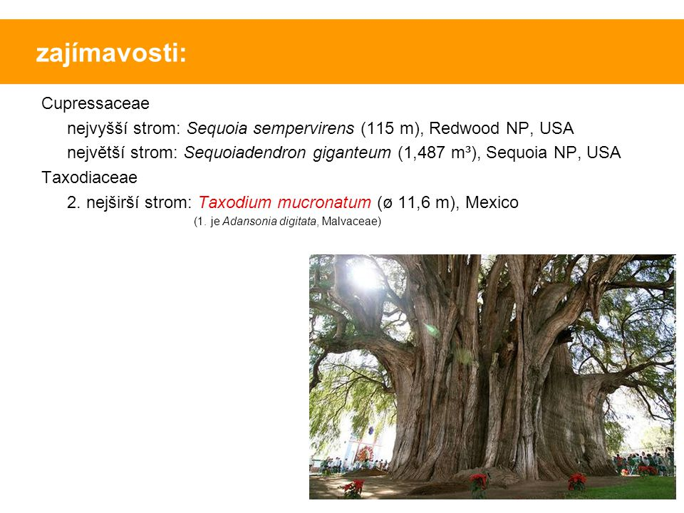 zajímavosti: Cupressaceae