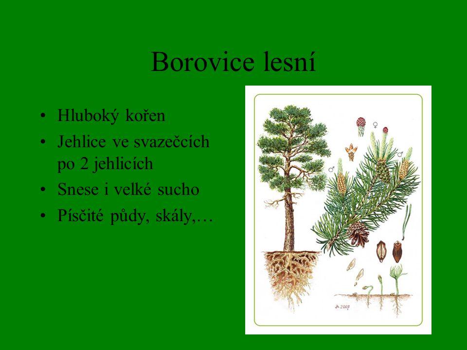 Borovice lesní Hluboký kořen Jehlice ve svazečcích po 2 jehlicích