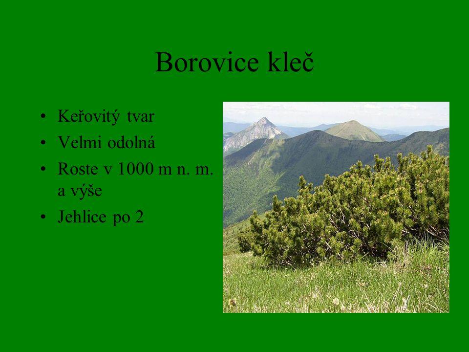 Borovice kleč Keřovitý tvar Velmi odolná Roste v 1000 m n. m. a výše