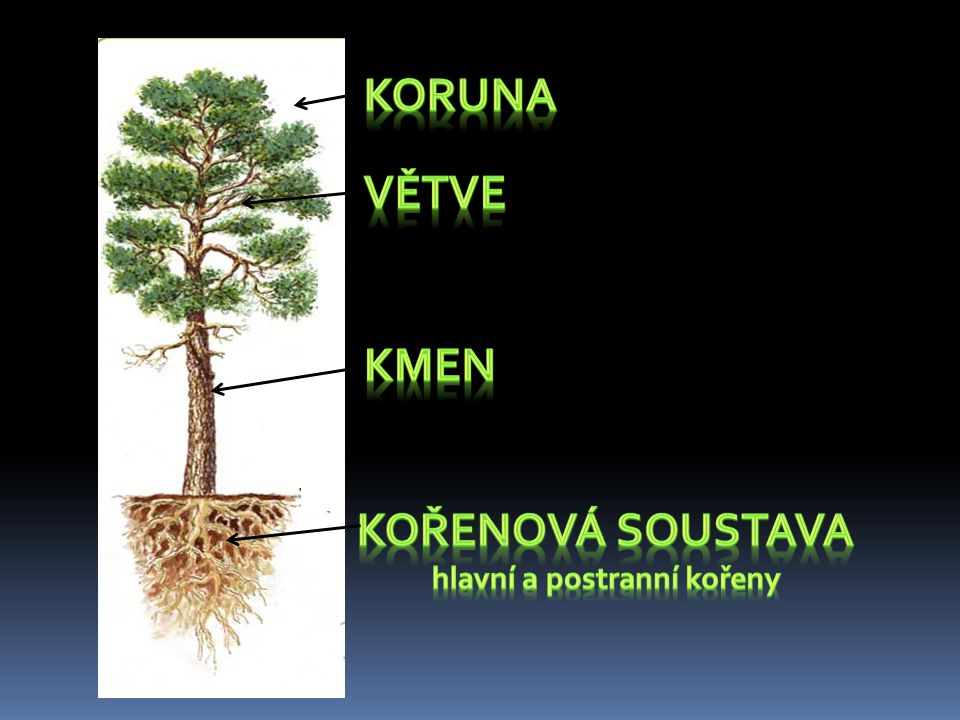 hlavní a postranní kořeny