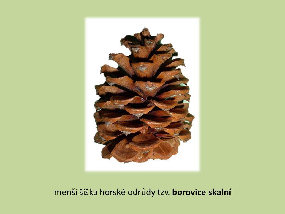 menší šiška horské odrůdy tzv. borovice skalní