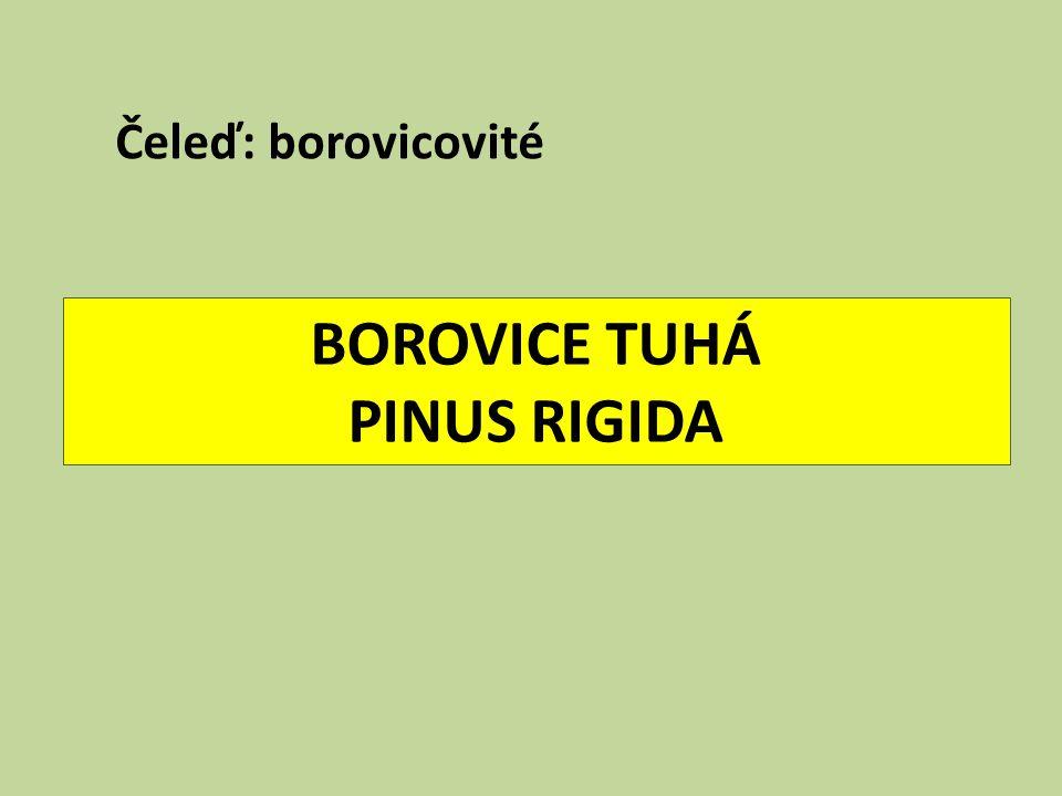 BOROVICE TUHÁ PINUS RIGIDA