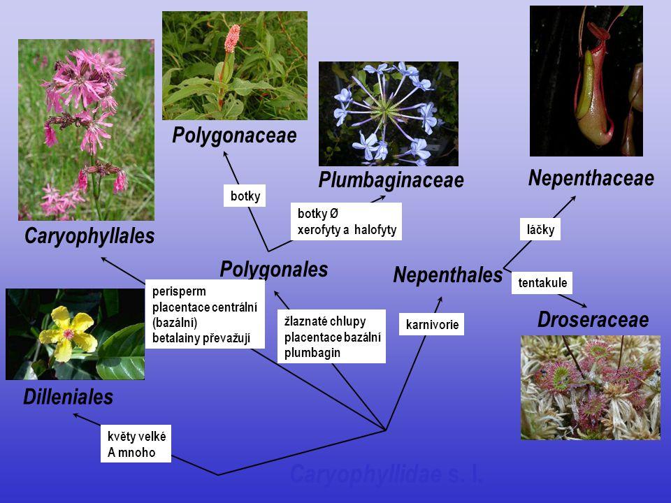 Caryophyllidae s. l. Polygonaceae Plumbaginaceae Nepenthaceae