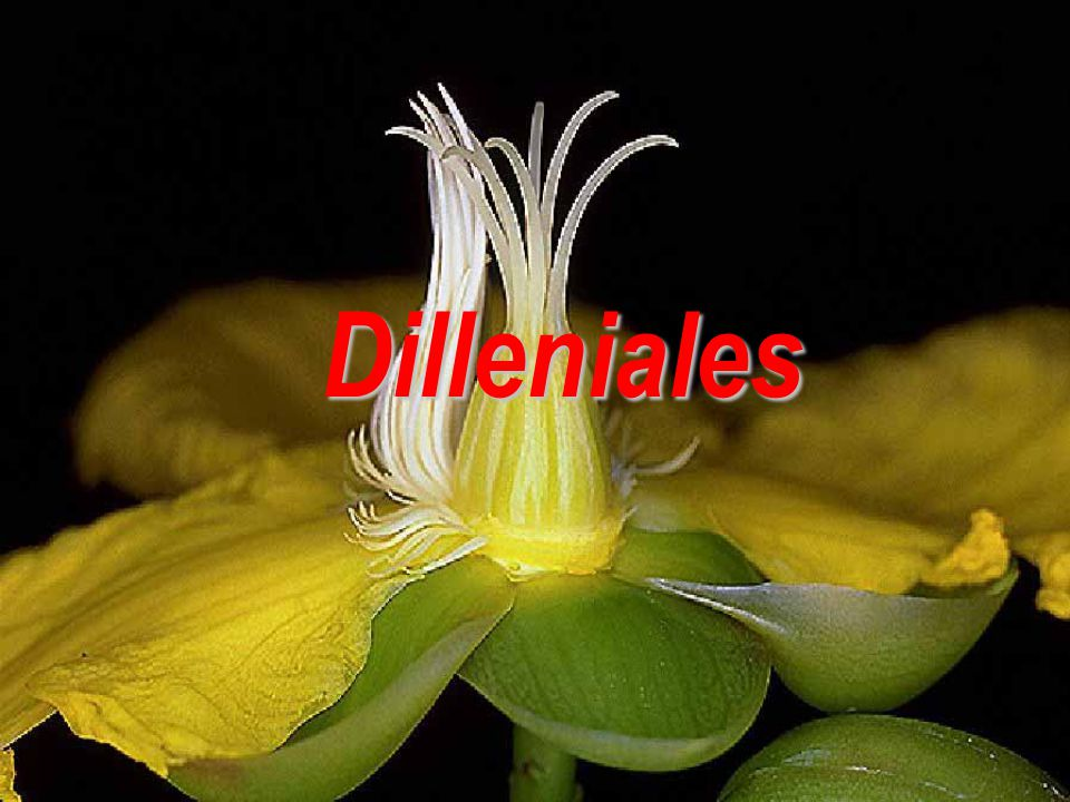 Dilleniales