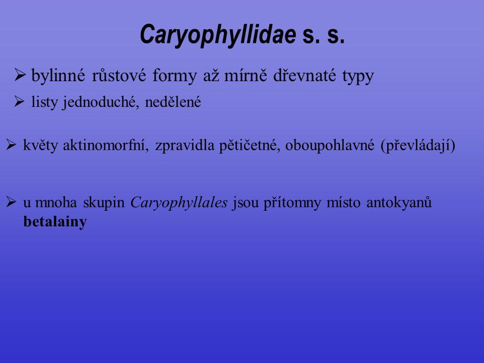 Caryophyllidae s. s. bylinné růstové formy až mírně dřevnaté typy
