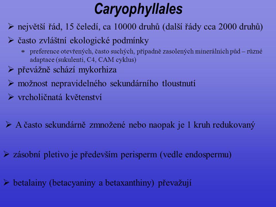 Caryophyllales největší řád, 15 čeledí, ca 10000 druhů (další řády cca 2000 druhů) často zvláštní ekologické podmínky.