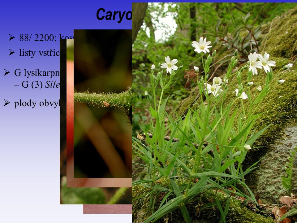 Caryophyllaceae 88/ 2200; kosmopolitní, spíše aridní oblasti