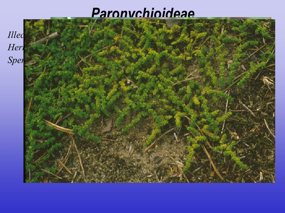Paronychioideae Illecebrum verticillatum Herniaria glabra