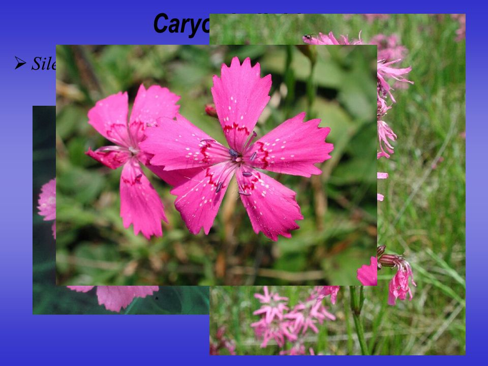 Caryophylloideae Silene, Dianthus, Lychnis, Steris, Agrostemma