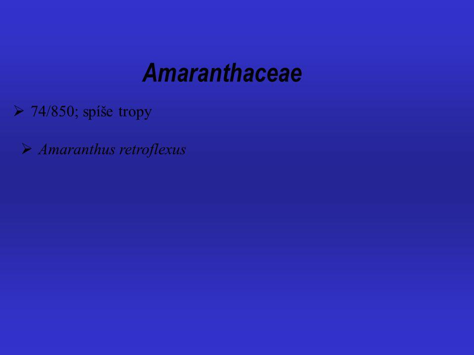Amaranthaceae 74/850; spíše tropy Amaranthus retroflexus