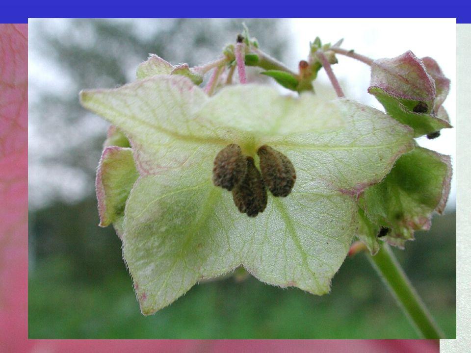 Nyctaginaceae 33/300; byliny až stromy, liány; převážně tropická až subtropická čeleď. častá pseudanthia.