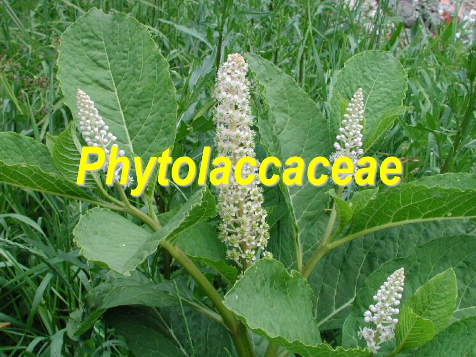 Phytolaccaceae