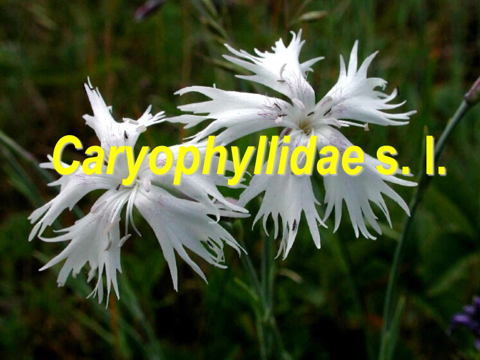 Caryophyllidae s. l.