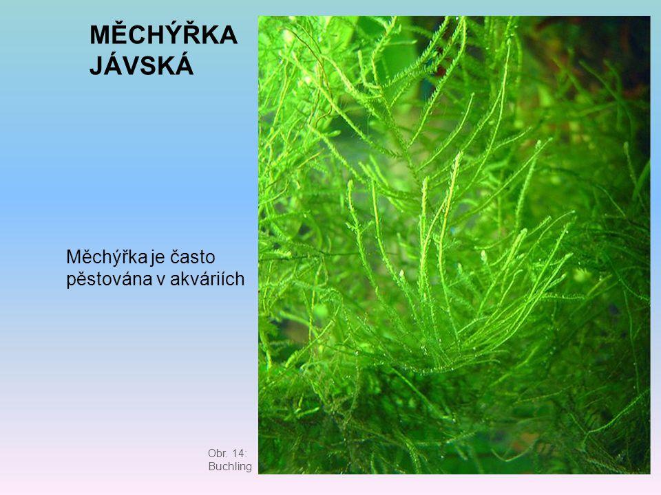MĚCHÝŘKA JÁVSKÁ Měchýřka je často pěstována v akváriích Obr. 14: