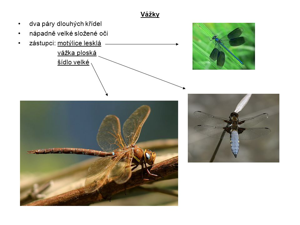 Vážky dva páry dlouhých křídel. nápadně velké složené oči. zástupci: motýlice lesklá. vážka ploská.