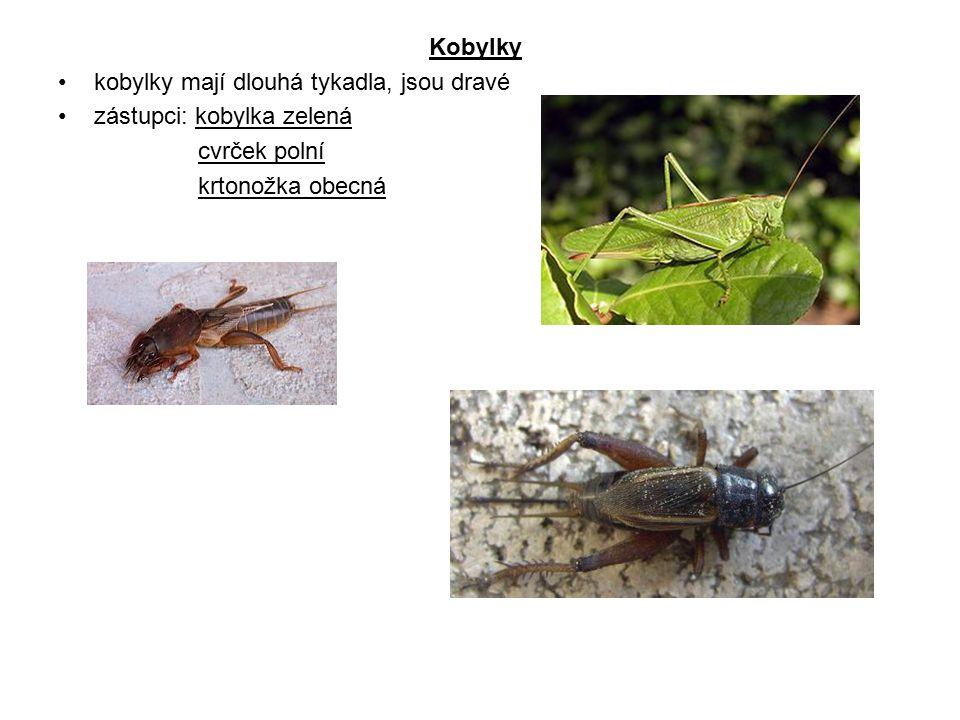 Kobylky kobylky mají dlouhá tykadla, jsou dravé. zástupci: kobylka zelená.