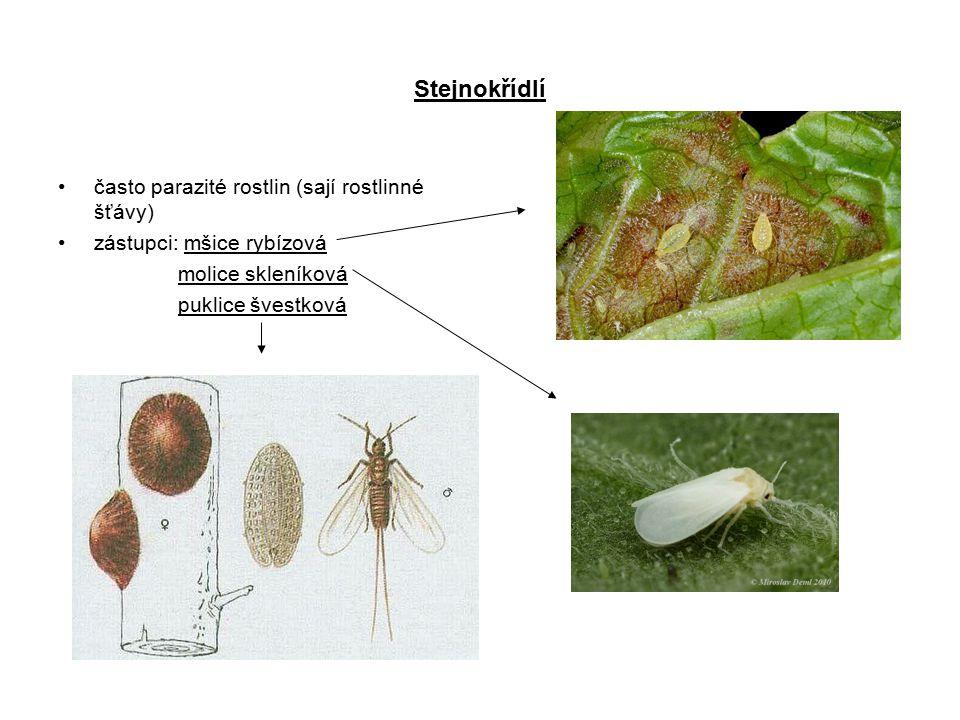 Stejnokřídlí často parazité rostlin (sají rostlinné šťávy)