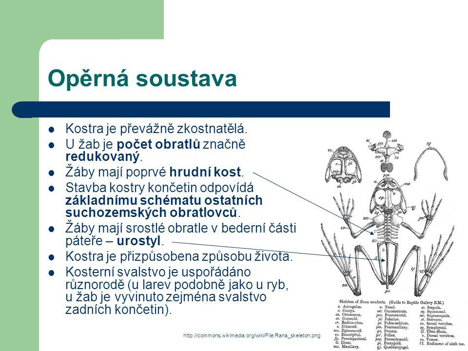 Opěrná soustava Kostra je převážně zkostnatělá.