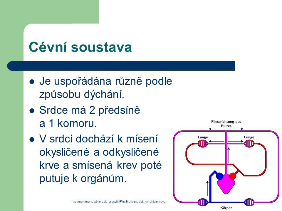 Cévní soustava Je uspořádána různě podle způsobu dýchání.