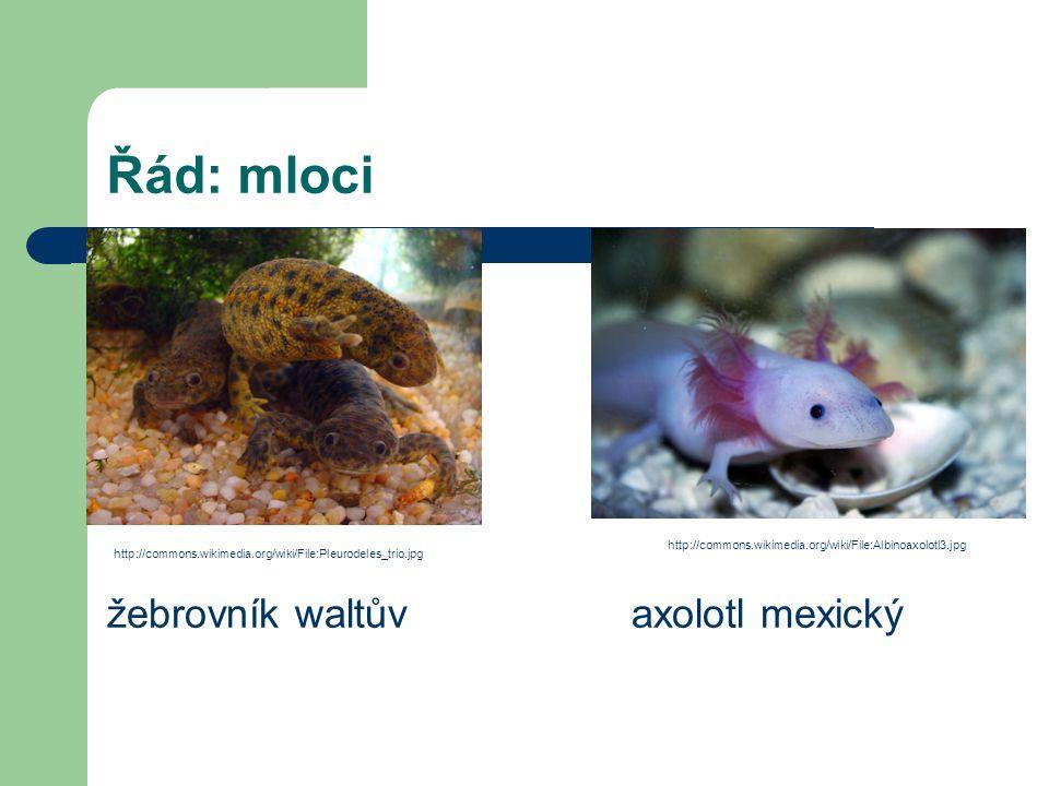 Řád: mloci žebrovník waltův axolotl mexický