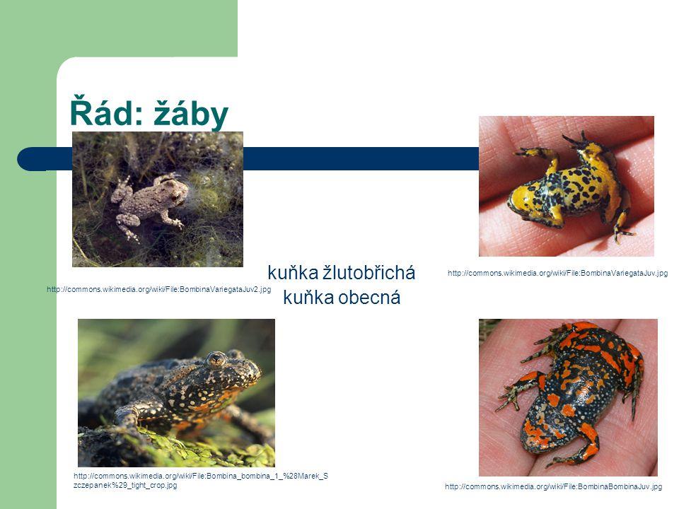 Řád: žáby kuňka žlutobřichá kuňka obecná