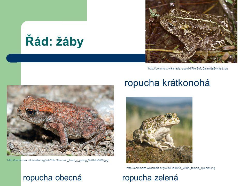 Řád: žáby ropucha krátkonohá ropucha obecná ropucha zelená