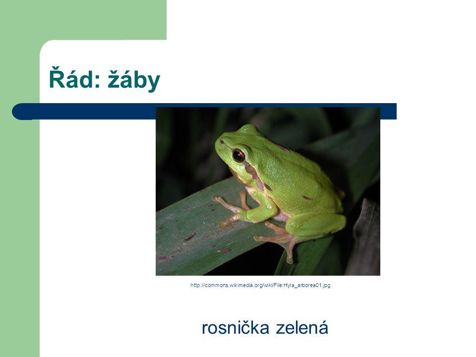 Řád: žáby rosnička zelená