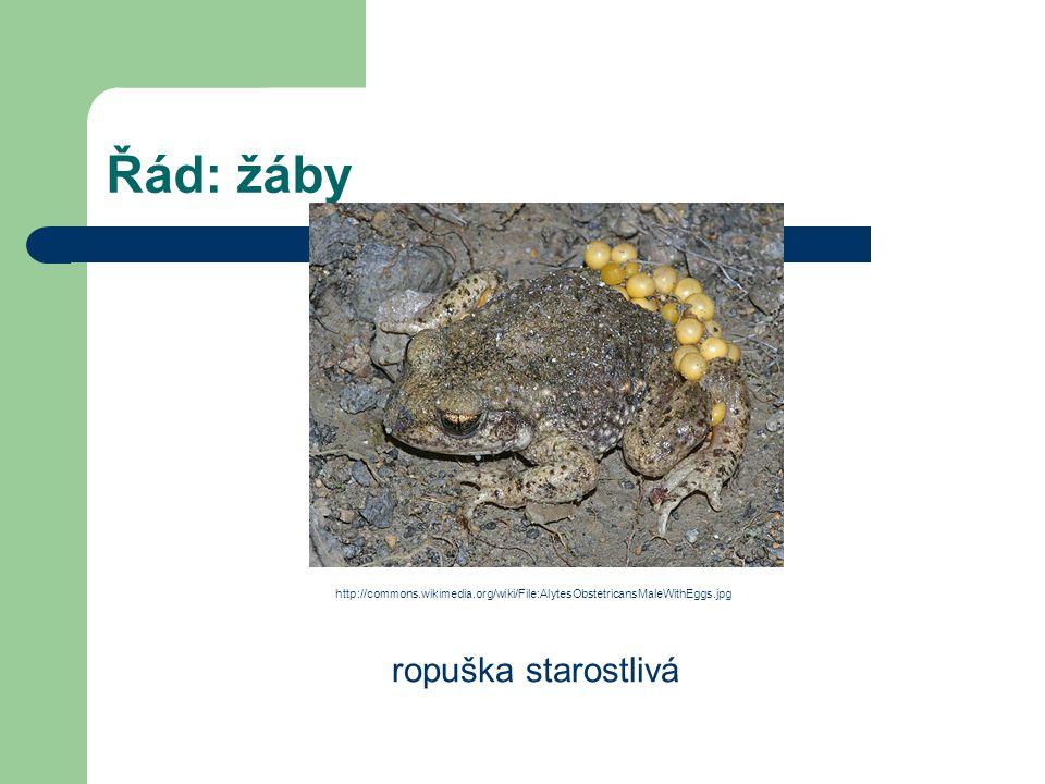 Řád: žáby ropuška starostlivá