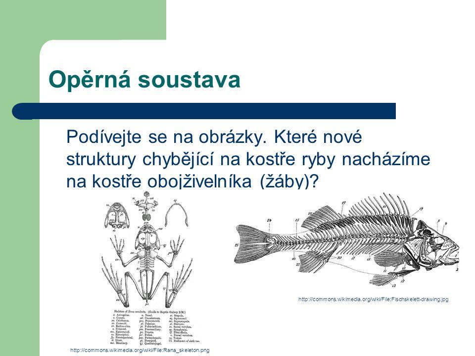 Opěrná soustava Podívejte se na obrázky. Které nové struktury chybějící na kostře ryby nacházíme na kostře obojživelníka (žáby)