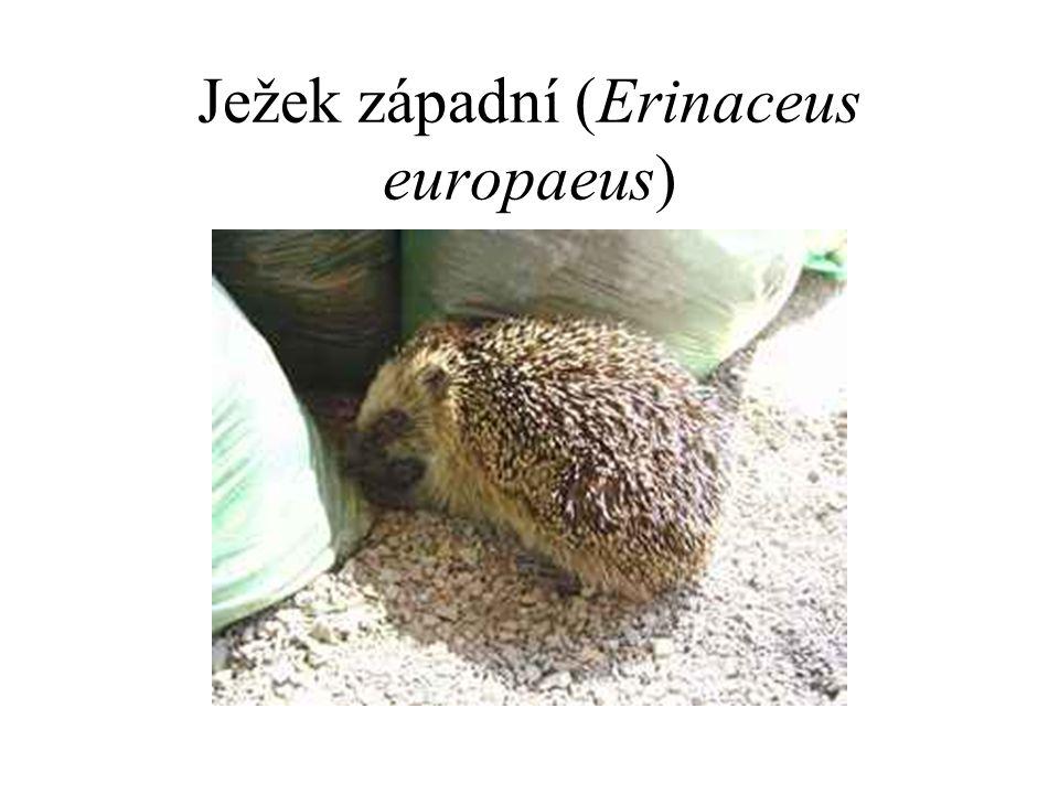Ježek západní (Erinaceus europaeus)