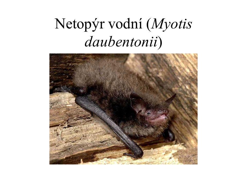 Netopýr vodní (Myotis daubentonii)