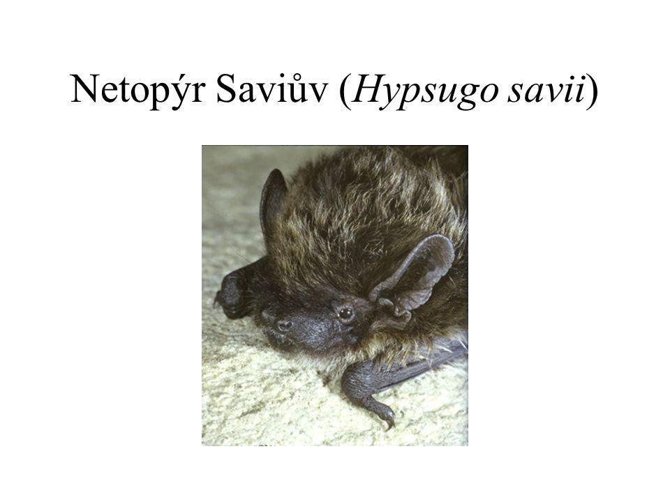 Netopýr Saviův (Hypsugo savii)