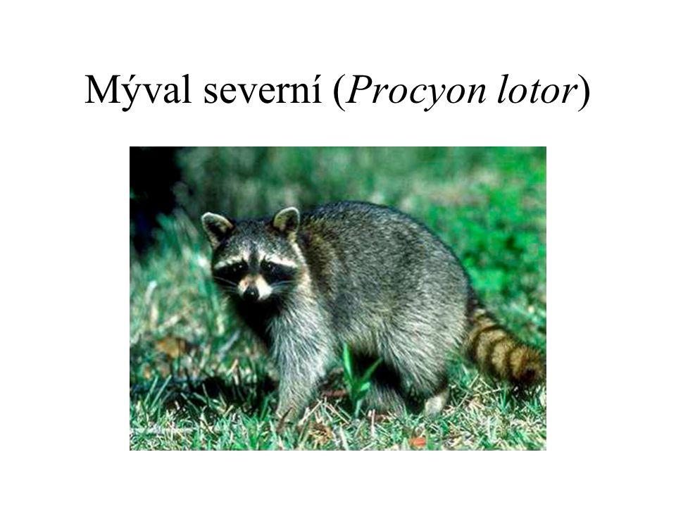 Mýval severní (Procyon lotor)