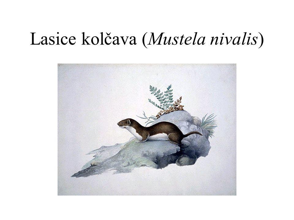 Lasice kolčava (Mustela nivalis)