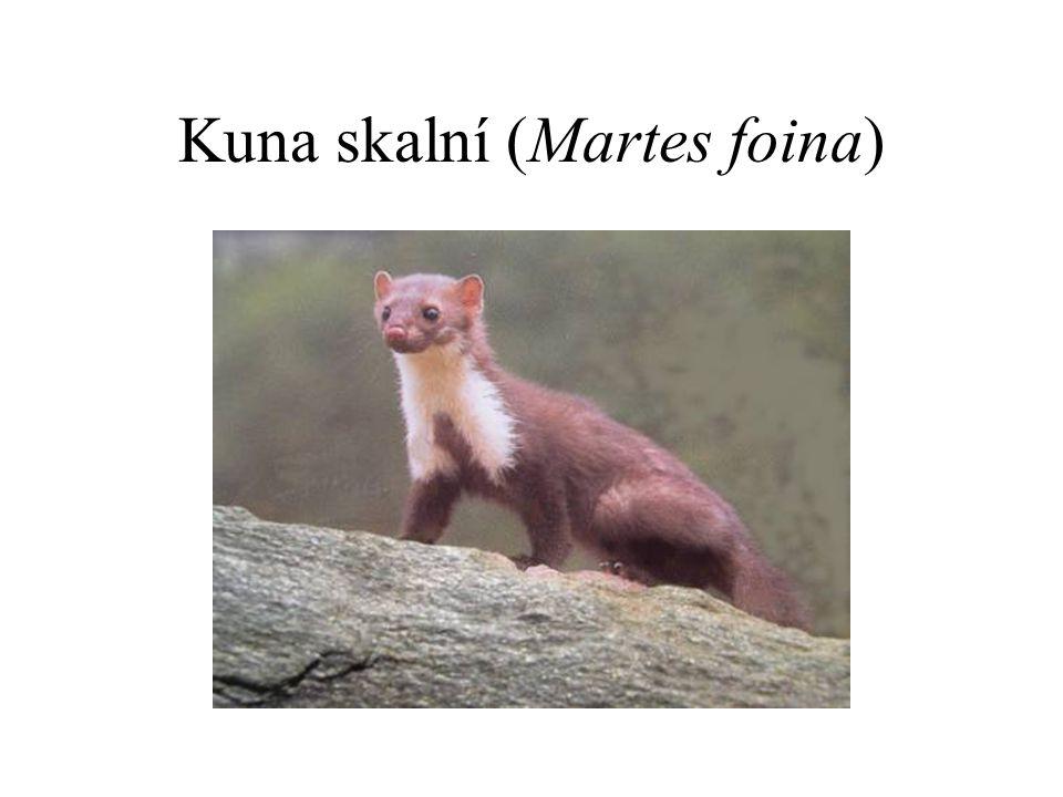 Kuna skalní (Martes foina)