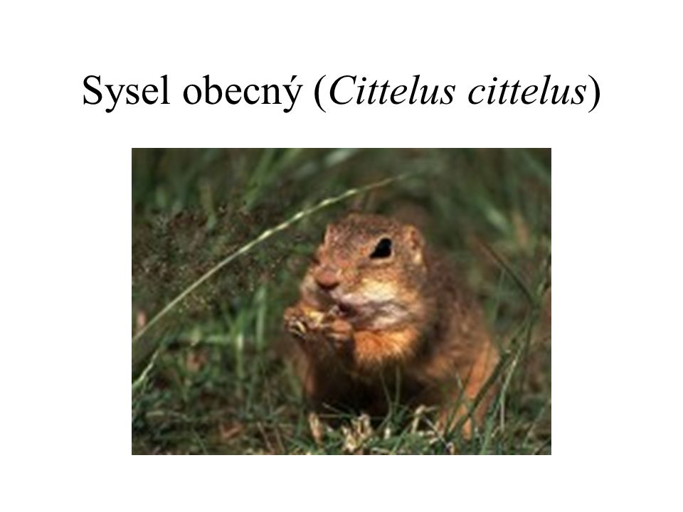 Sysel obecný (Cittelus cittelus)