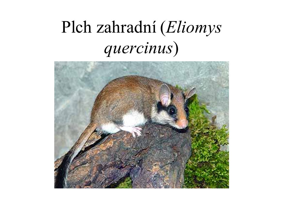 Plch zahradní (Eliomys quercinus)
