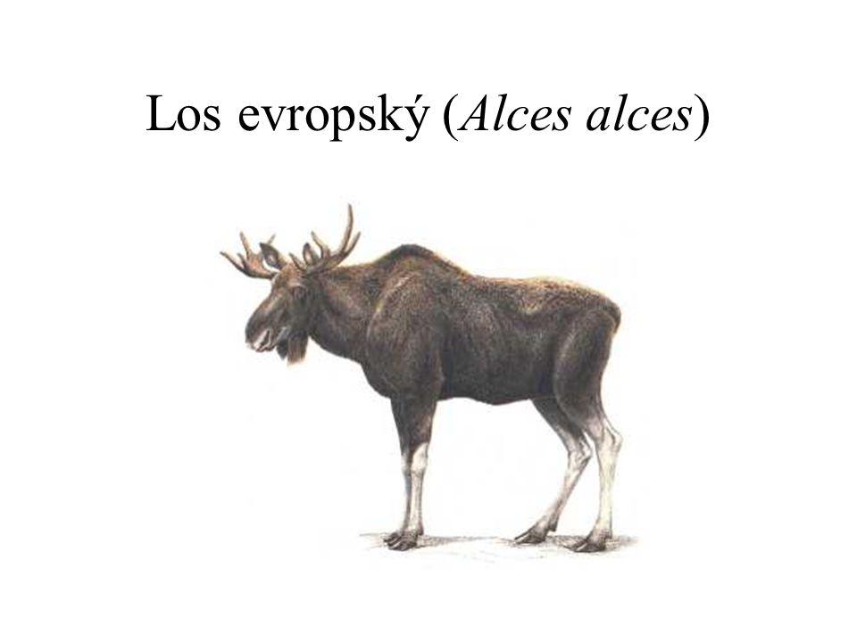 Los evropský (Alces alces)