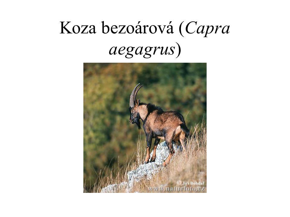 Koza bezoárová (Capra aegagrus)