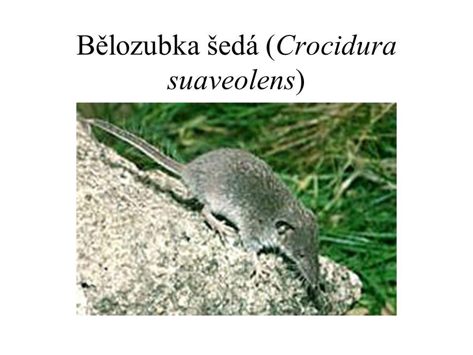 Bělozubka šedá (Crocidura suaveolens)