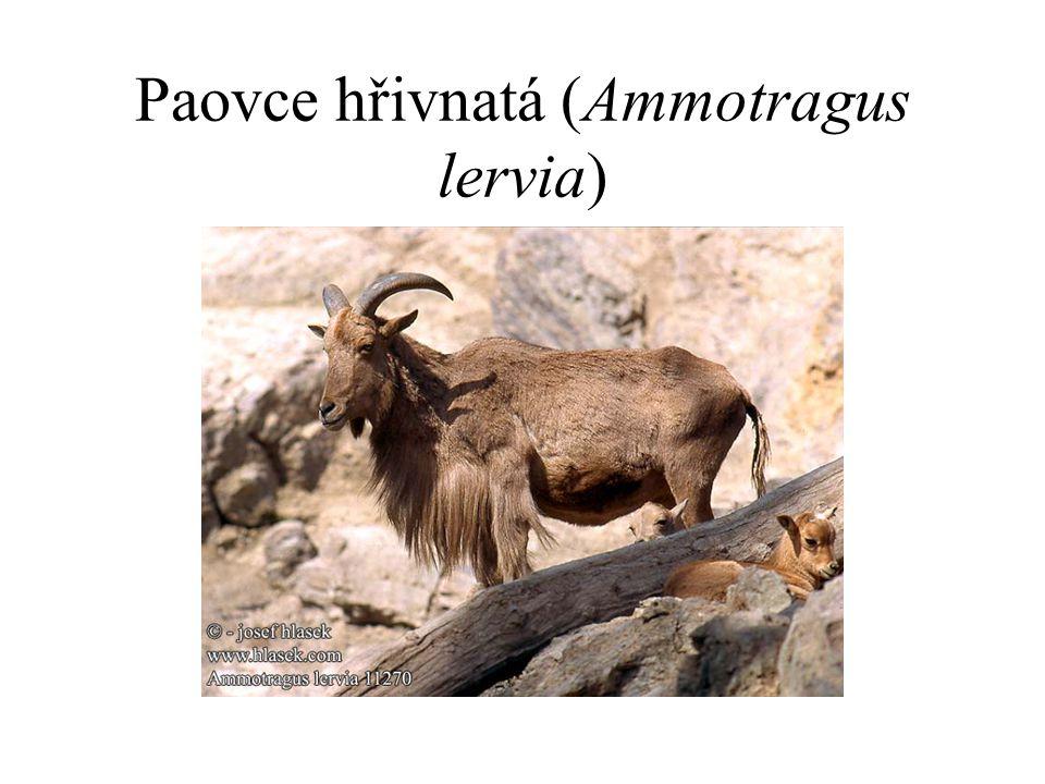 Paovce hřivnatá (Ammotragus lervia)