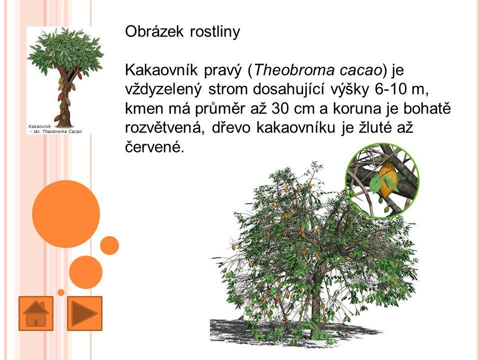 Obrázek rostliny Kakaovník pravý (Theobroma cacao) je vždyzelený strom dosahující výšky 6-10 m,