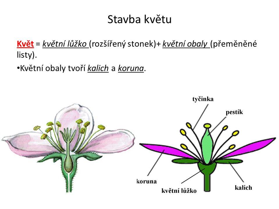 Stavba květu Květ = květní lůžko (rozšířený stonek)+ květní obaly (přeměněné listy).