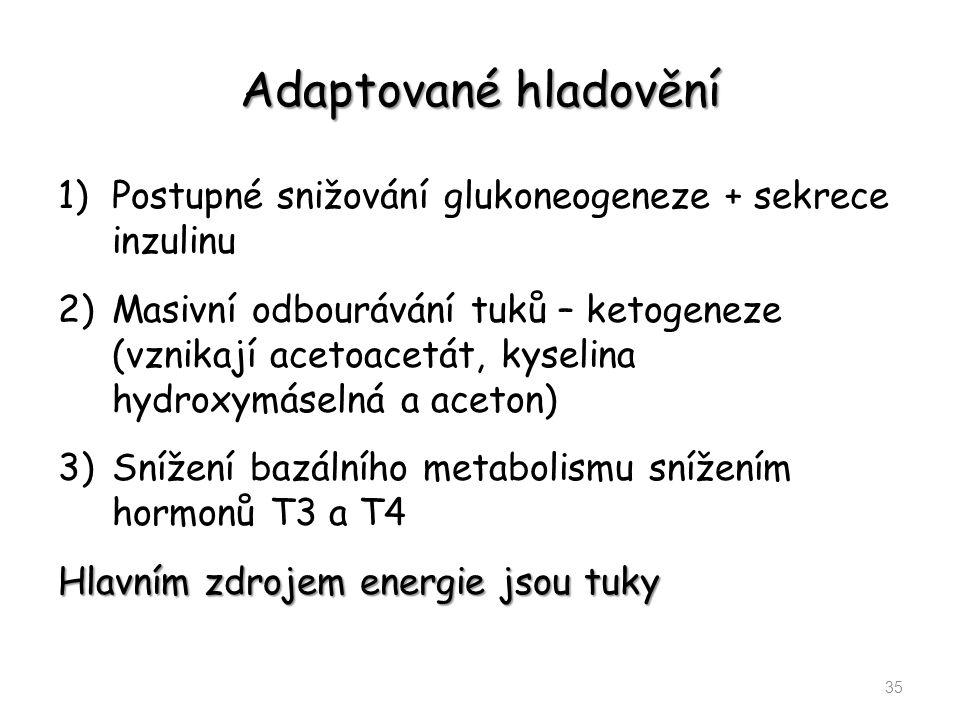 Adaptované hladovění Postupné snižování glukoneogeneze + sekrece inzulinu.