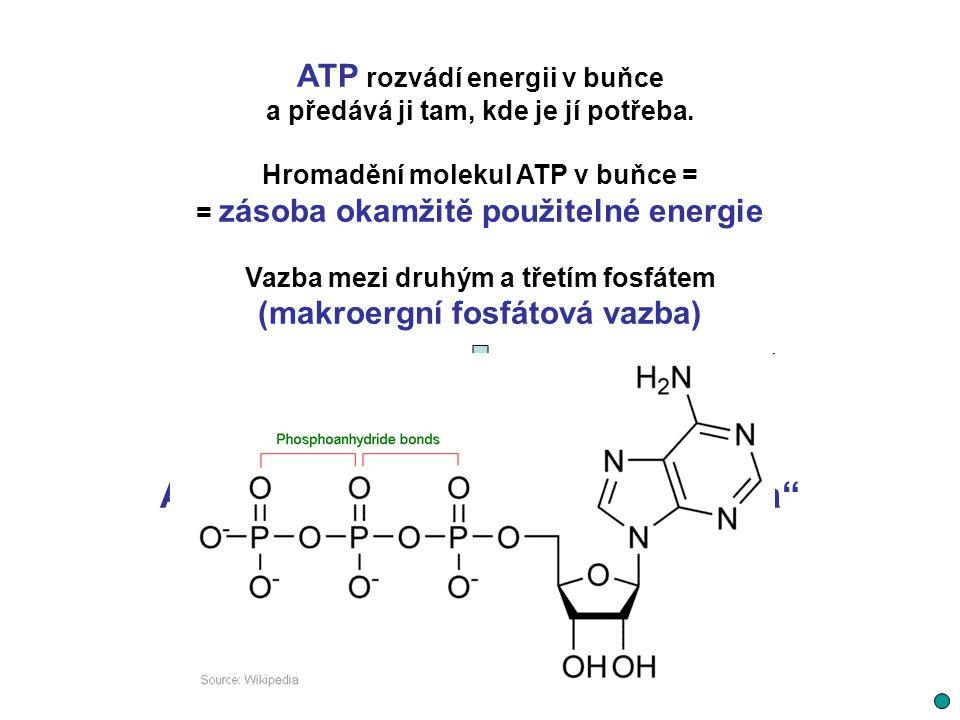 """ATP - hlavní """"energetická konzerva"""
