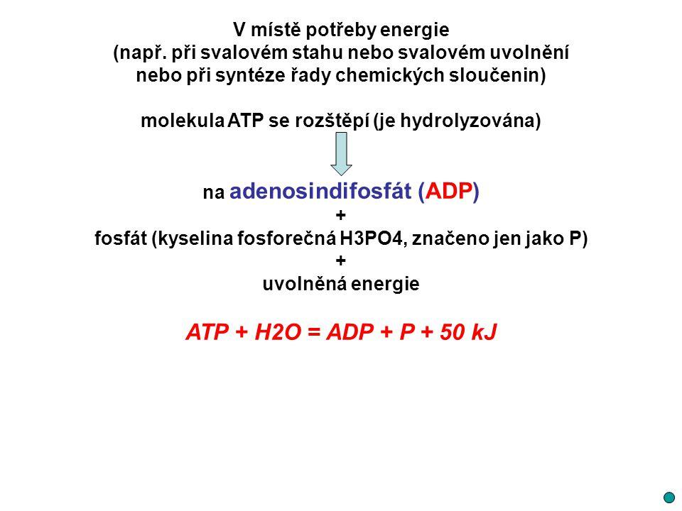 ATP + H2O = ADP + P + 50 kJ V místě potřeby energie