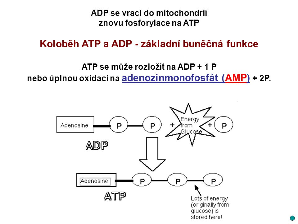 Koloběh ATP a ADP - základní buněčná funkce